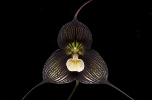Black orchid Dracula Vampira, species from Ecuador, grown by Hawk Hill Nursery, Pacifica, California